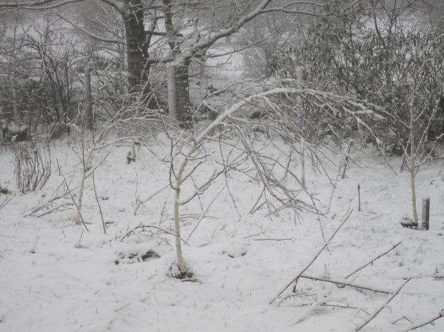 2. Bent saplings, 18.01.13